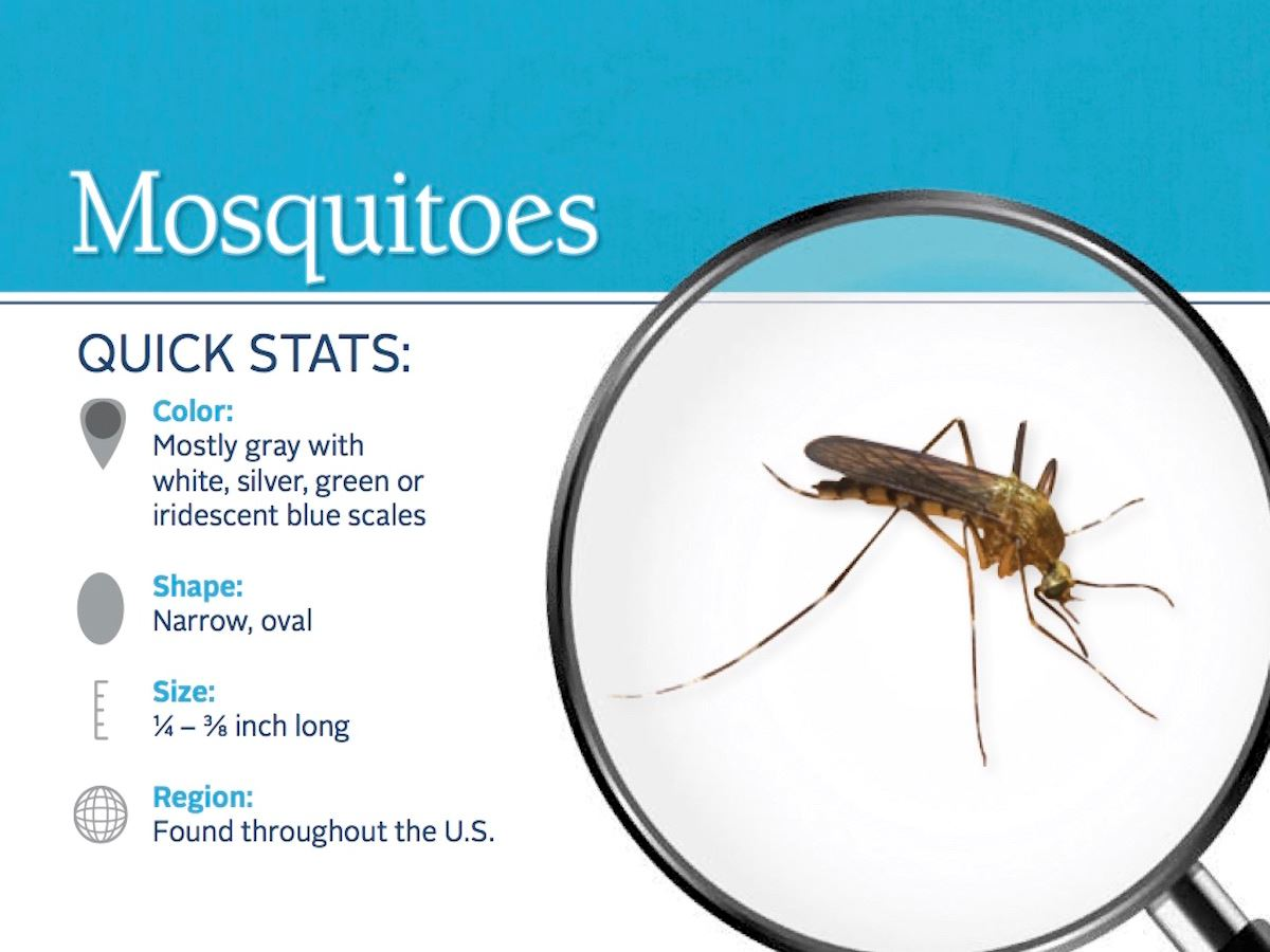 mosquito-pest-id-card_front